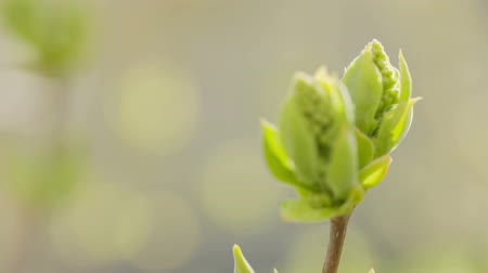 focus pull : lilac buds in spring