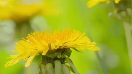 napsütéses napon : yellow dandelions sways in the wind, closeup video Stock mozgókép