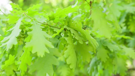 dub : young oak leaves sways in the wind, springtime