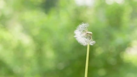 dmuchawiec : white dandelion got blown by mouth Wideo