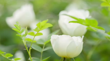 briar : white brier rose flower on bush, closeup Stock Footage