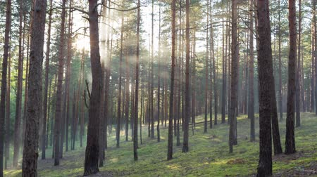 bok : sunny evening in pine forest, slide movement focus on front trees