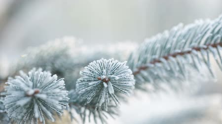 мороз : Fir branches covered with hoar frost, pan movement shoot in RAW
