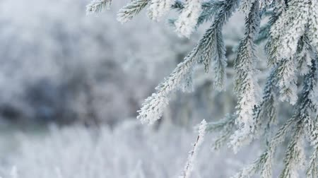 szibéria : Fir branches covered with hoar frost, focus pull Stock mozgókép