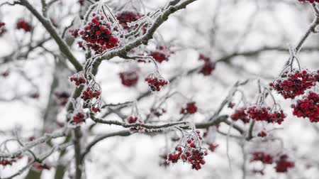 rowanberry : Rowanberries covered with hoarfrost and snow, pan movement shoot in RAW Stock Footage