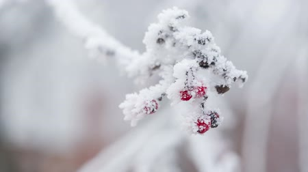 мороз : Rowanberries covered with hoarfrost and snow, pan movement shoot in RAW Стоковые видеозаписи