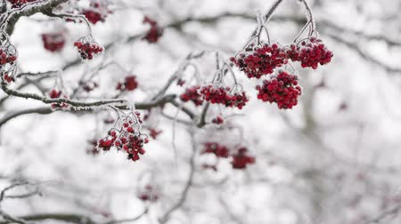 rowanberry : Rowanberries covered with hoarfrost and snow still, shoot in RAW Stock Footage