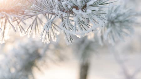 мороз : Fir branches covered with hoar frost shoot in RAW, slide movement