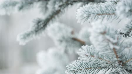 pan : Fir branches covered with hoar frost shoot in RAW, pan movement