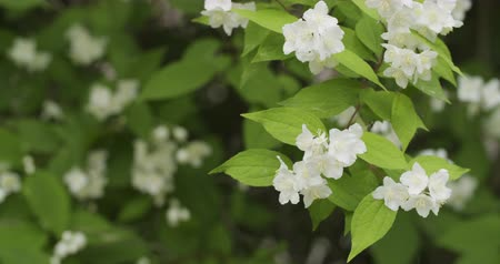 yasemin : jasmine flowers in bloom 4k prores footage Stok Video