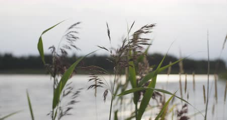 sazlık : reed on the lake