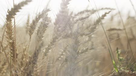 zboże : grain field with wheat or rye ready for harvest