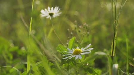 stokrotki : macro handheld footage of daisy flowers in evening sun