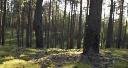 bok : pine forest in warm summer day handheld walking stabilized footage