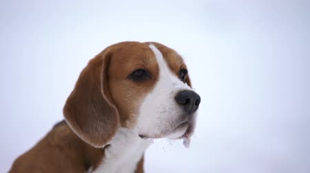 hunting dog : beagle dog sniffing around