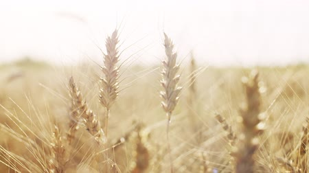 temporadas : ears of wheat at warm summer sunset light Stock Footage
