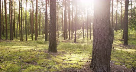 mossy forest : summer pine forest in sunny day dolly shot Stock Footage