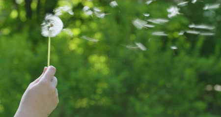 dmuchawiec : blowing white dandelion on sunny day slowmo