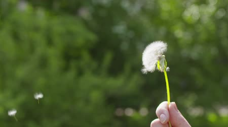 darbe : blowing white dandelion on sunny day slowmo