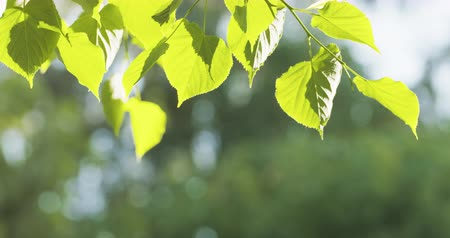 tájak : young linden leaves backlit with sunlight