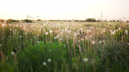 stabilizátor : white dandelion field in sunset light walk side shot from gimbal stabilizer