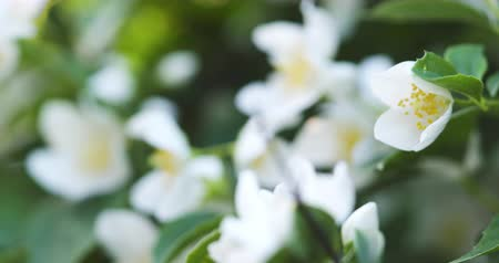 yasemin : beautiful jasmine white flowers in summer day folcus pull