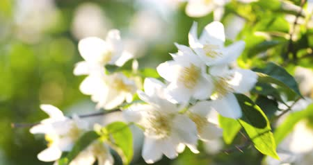 yasemin : beautiful jasmine white flowers in summer sunset