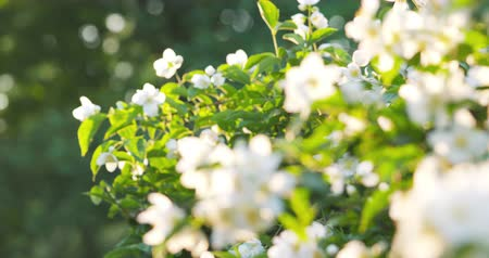 yasemin : beautiful jasmine white flowers in summer day pan Stok Video