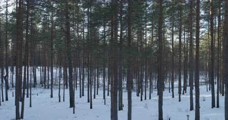 крытый : Aerial side flight in winter pine forest in sunset, 4k drone footage