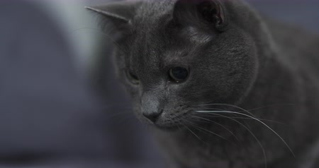 prowl : Slow motion of big gray cat playing hunting with big eyes handheld, 4k 60fps footage