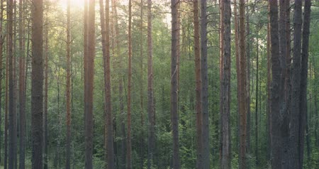 slayt : slightly toned pine forest in summer time with sun flare, movement