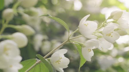 yasemin : slightly toned jasmine flowers in bloom, closeup video