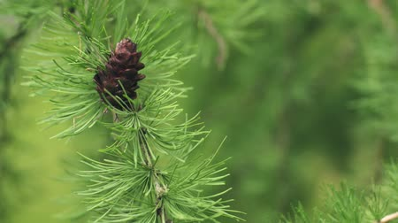 decídua : larch tree with cones in summer day filmed in 60fps slowmo footage