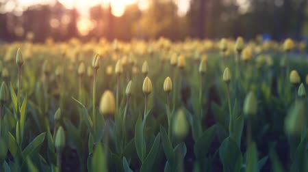 голландский : yellow tulips in sunset light focus pull toned shot Стоковые видеозаписи