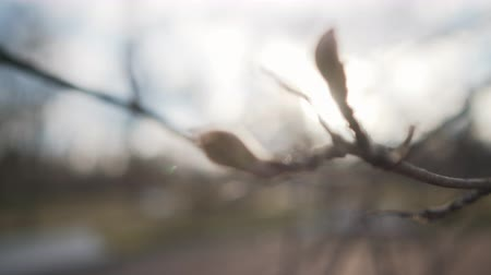 sorbus : Handheld shot of buds on rowan tree, uhd  footage