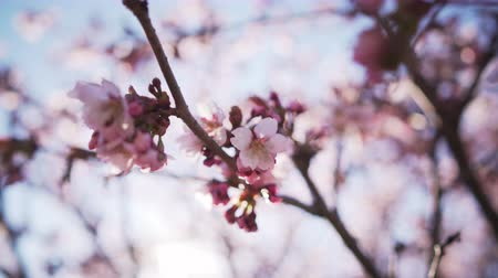 cereja : Handheld closeup shot of sakura in bloom in sunny spring day, uhd  footage Stock Footage