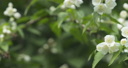 yasemin : pan shot of white jasmine flowers in summmer day