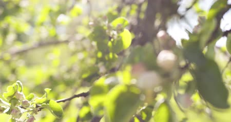 pomar : Slow motion handheld shot of of apple tree with pink flowers in a garden