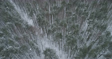 ascend : Aerial forward fly with tilt over winter frozen pine forest Stock Footage