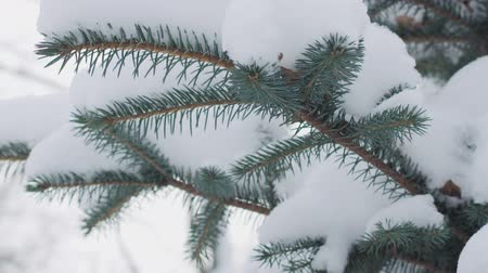 snow covered spruce : Slow motion handheld shot of blue spruce twigs covered by snow