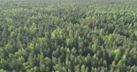 bétula : Aerial pan over mixed forest on a sunny summer day