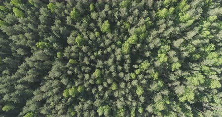 bétula : Aerial top view forward flight over mixed forest on a sunny summer day