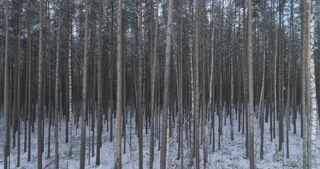 birch tree : Aerial low altitude side flight in winter pine forest