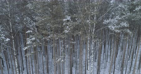 ascend : Aerial ascent with tilt over frozen winter pine forest
