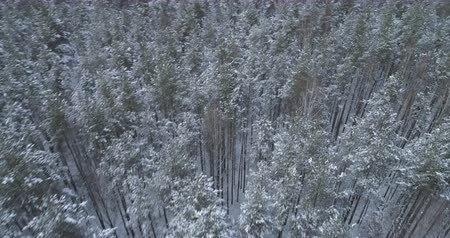 sobre o branco : Aerial forward high angle flight over frozen winter pine forest Vídeos