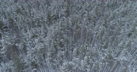 orbital : Aerial orbital high angle flight over frozen winter pine forest