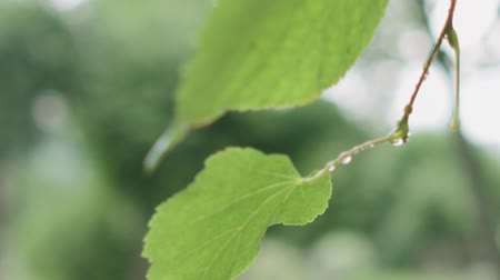 linden : Slow motion handheld closeup of wet linden leaves Stock Footage