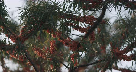 krzew : Slow motion handheld sea buckthorn berries on the bush