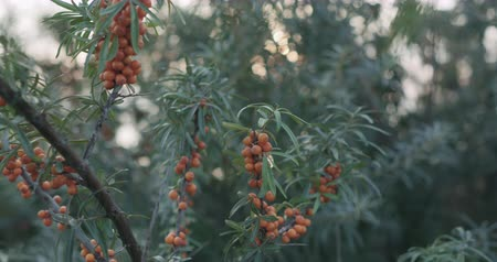 cserjék : Slow motion handheld sea buckthorn berries on the bush