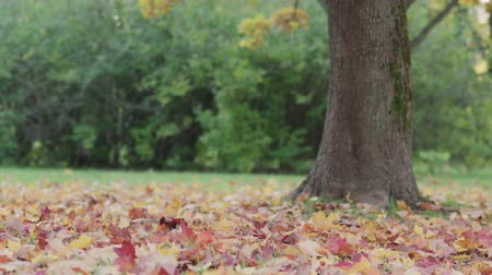 sways : Slow motion red maple leaves falling from tree in park in autumn